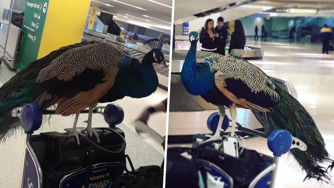 Woman Tried to Peacock on Plane