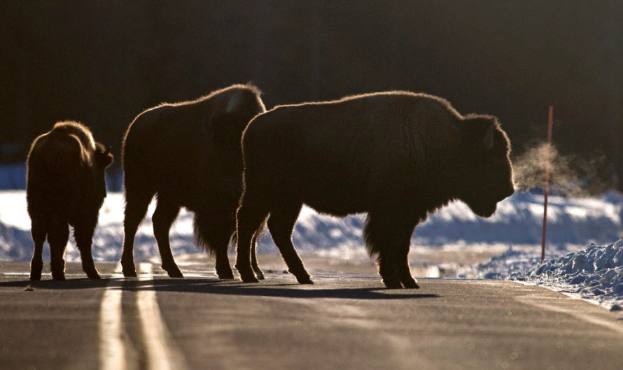Denver Airport Wants to Allow Bison to Roam Free