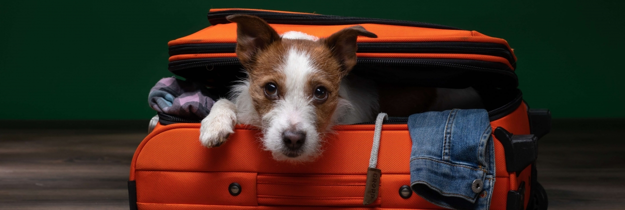 Jack Russell Terrier ready to travel