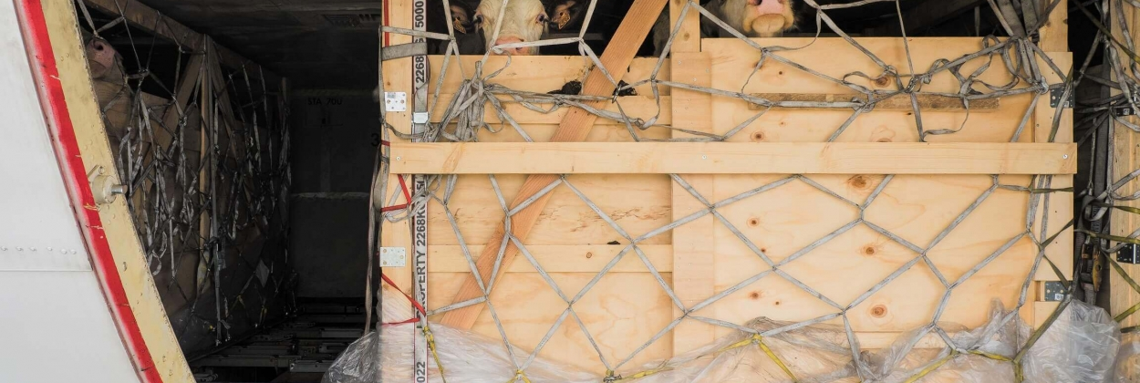 livestock_in_wooden_boxes_in_a_cargo_hold_1
