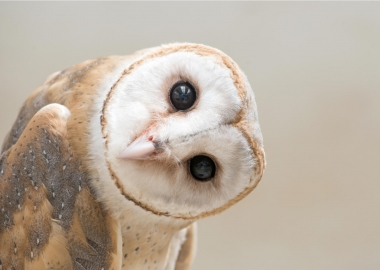 common barn owl head close up aerotime news